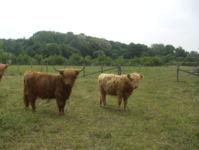 Highland Cattle dans un marais clôturé en Hi-tensile